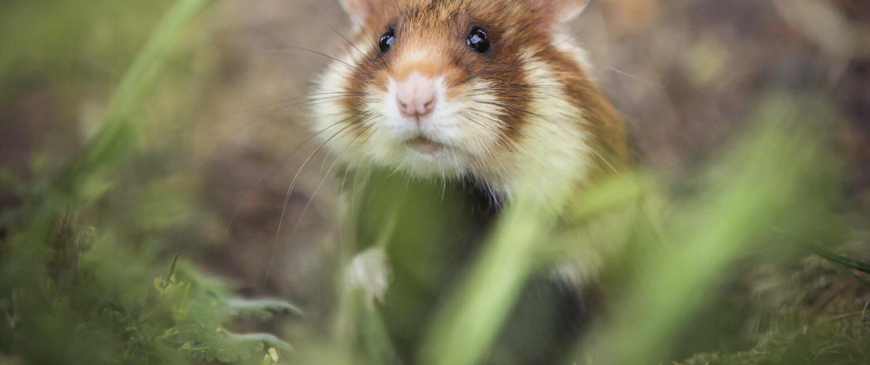 Het Molentje Elst -hamster